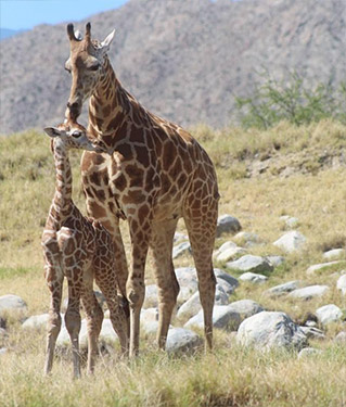 Baby Giraffe…. One of the newest residents at The Living Desert